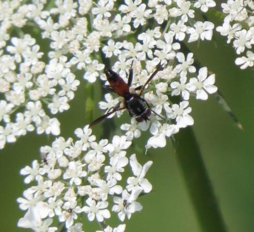 Cylindromyia-brassicaria-01