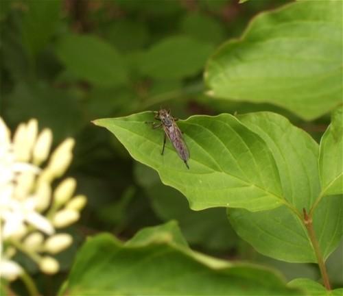 Fliege - Unbekannt-02