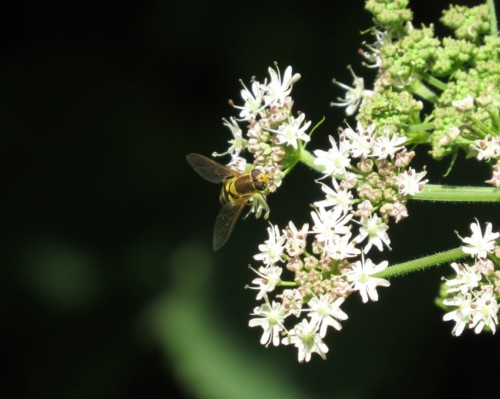 Fliege - Unbekannt-10