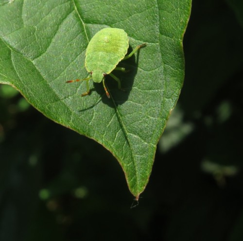 Grüne Stinkwanze-02