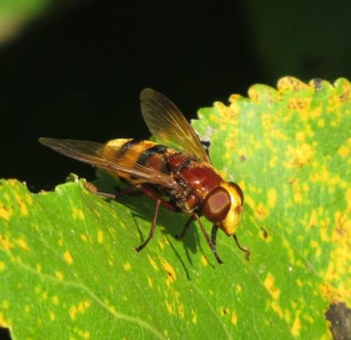 Hornissenschwebfliege-05