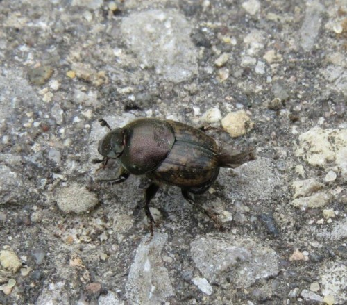 Onthophagus-fracticornis01