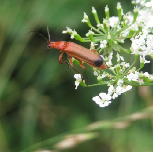 RoterFliegenkäfer04