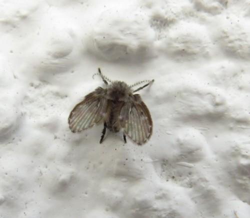 Schmetterlingsmücke-02