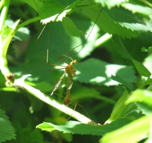 Schnake(Tipula cava)-01