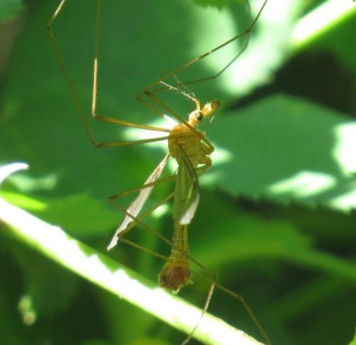 Schnake(Tipula cava)-02