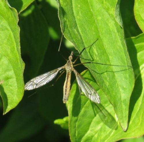 Schnake(Tipula vernalis)-02