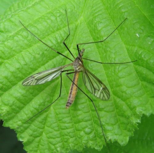 Schnake(Tipula vernalis)-03