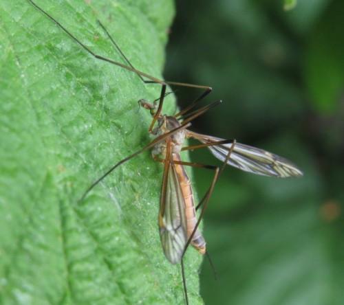 Schnake(Tipula vernalis)-04