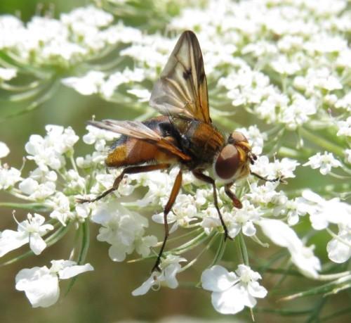 Wanzenfliege-Phasia-hemiptera-04