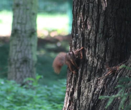 Eichhörnchen002