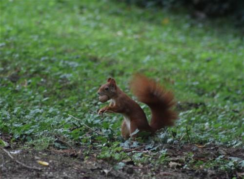 Eichhörnchen003