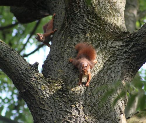 Eichhörnchen004