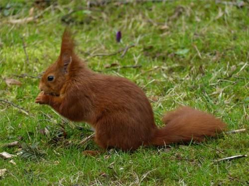 Eichhörnchen008