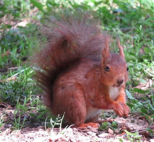 Eichhörnchen011