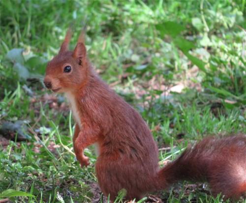 Eichhörnchen012