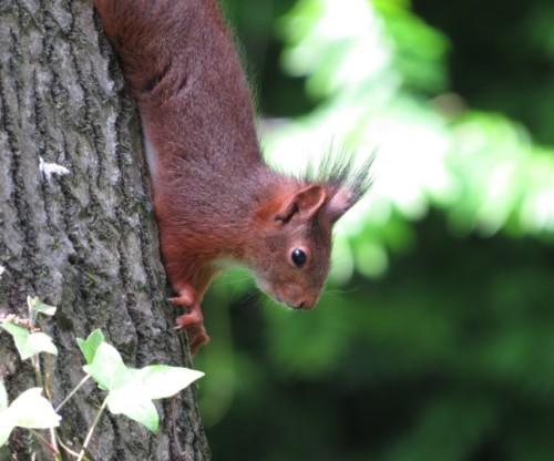 Eichhörnchen013