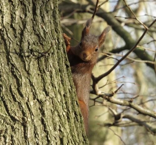 Eichhörnchen014