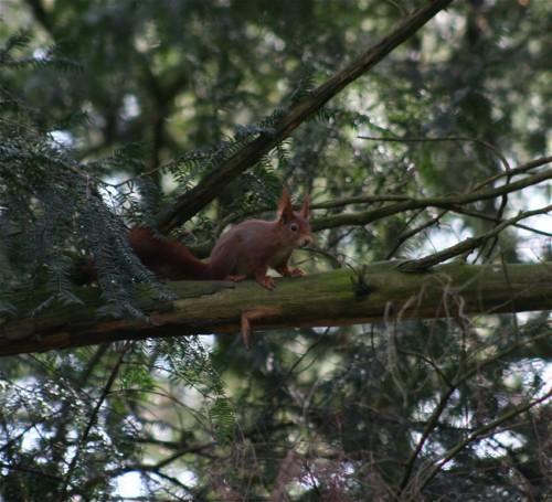 Eichhörnchen015