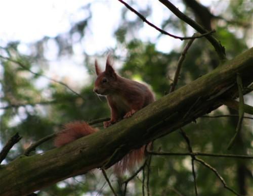 Eichhörnchen016