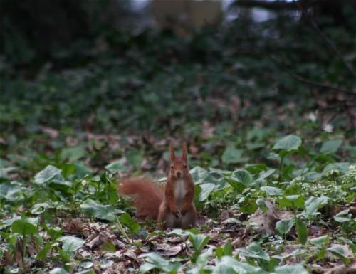 Eichhörnchen017