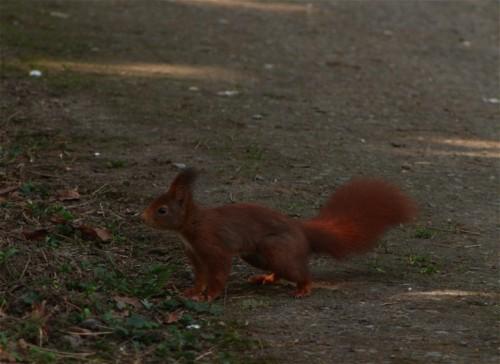 Eichhörnchen018