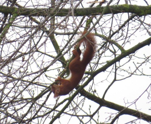 Eichhörnchen021