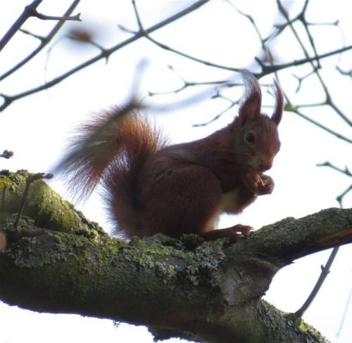 Eichhörnchen024