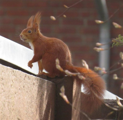 Eichhörnchen028
