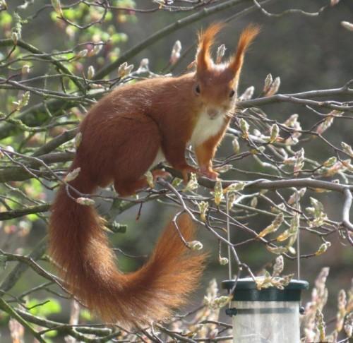 Eichhörnchen029
