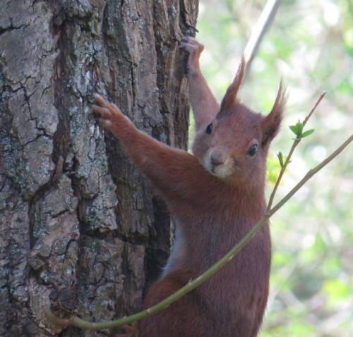 Eichhörnchen031 (1)