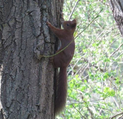 Eichhörnchen032