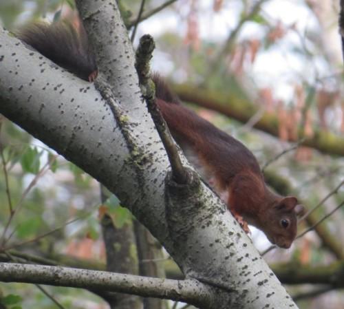 Eichhörnchen033