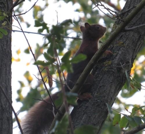 Eichhörnchen035