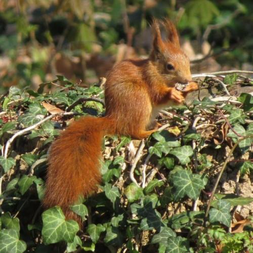 Eichhörnchen036