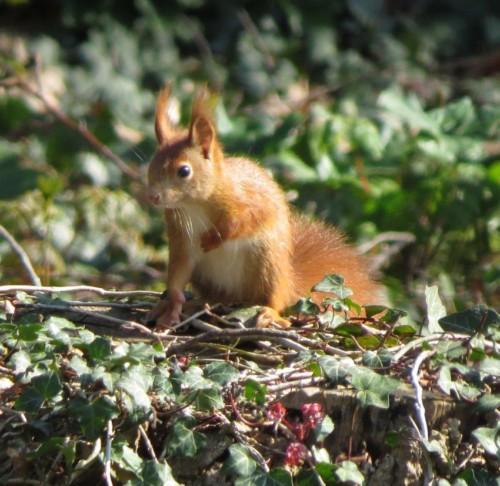Eichhörnchen037