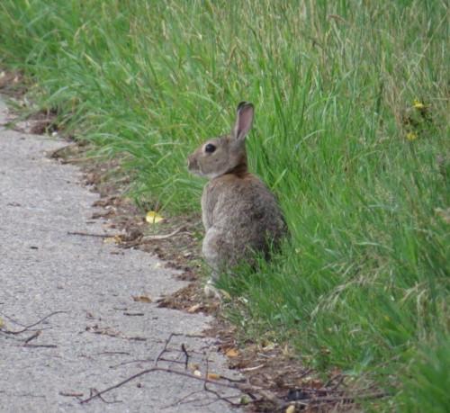Kaninchen009