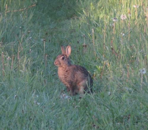 Kaninchen011