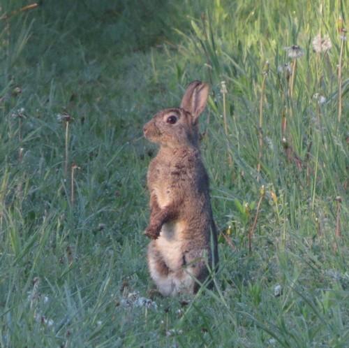 Kaninchen012