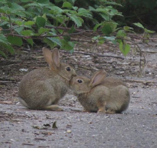 Kaninchen013