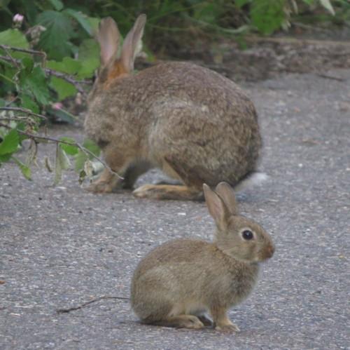 Kaninchen015