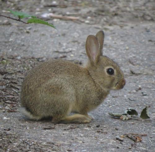 Kaninchen016