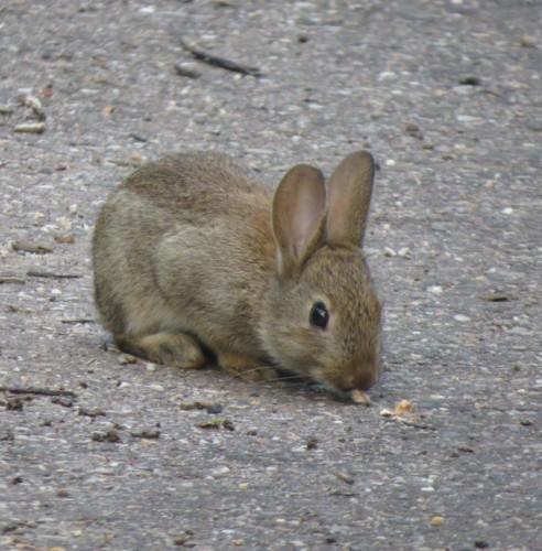 Kaninchen017