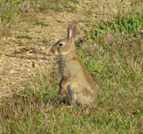 Kaninchen019