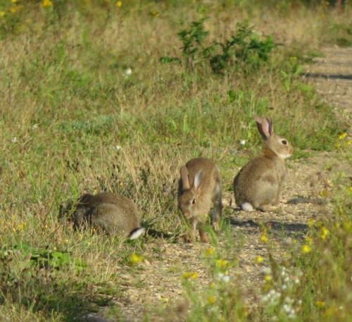 Kaninchen020