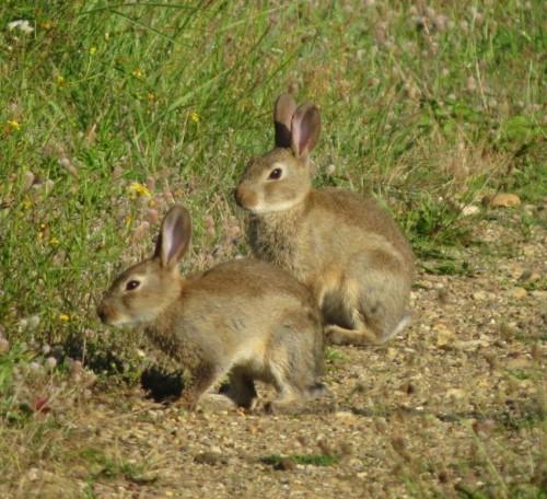 Kaninchen021