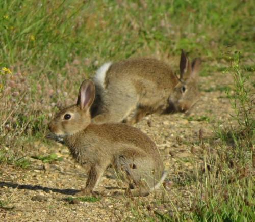 Kaninchen022
