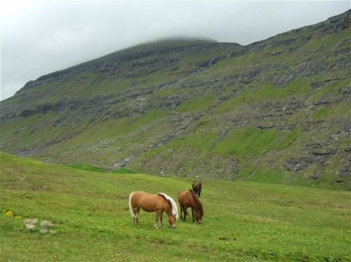 Pferd-Färöerpony002