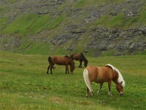 Pferd-Färöerpony004