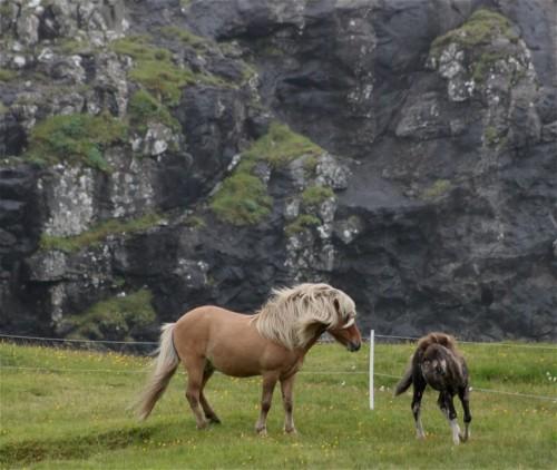 Pferd-Färöerpony005